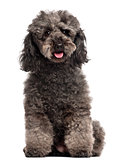 Poodle, 3 years old, sitting in front of white background