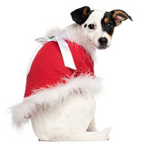 Jack Russell Terrier puppy, 5 months old, wearing a Christmas jumper in front of white background