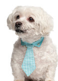 Maltese, 9 years old, wearing a tie in front of white background