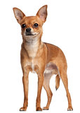 Crossbreed dog standing in front of white background