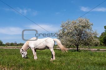 White Horse On A Blue Sky and Apple tree in spring with white bl