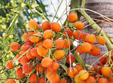 Are-ca Nut Palm On Tree