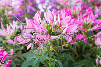 Cleome spinosa flower
