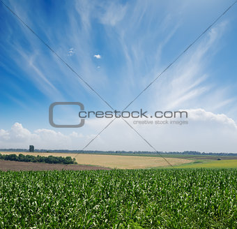 green maize field under blue sky and clouds