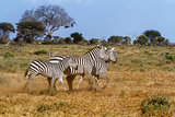 Three zebras in Tasvo National Park Kenya