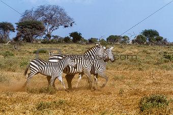 Three zebras in Tasvo National Park Kenya