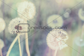 close up of Dandelion with abstract color