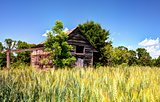 Abandoned Barn and Wheat Field