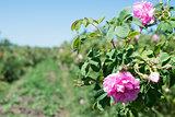 Plantation crops roses