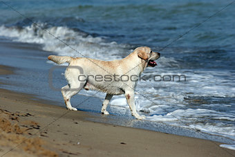 A yellow labrador in the beach