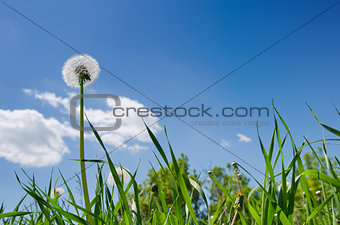 old dandelion in green grass field and blue sky