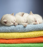 Three sleeping british baby kittens on colorful towels