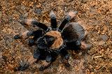 Mexican True Red True tarantula(Brachypelma emilia)