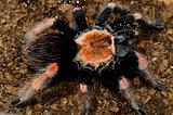 Mexican Fireleg tarantula(Brachypelma boehmei)