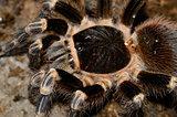 Brazilian White Stripe Tarantula