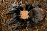 Mexican golden red rump tarantula