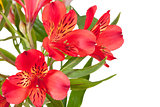 flowers bunch from several red alstroemeria