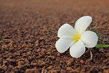 close up of Frangipani flower