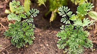 Organic Rue herb