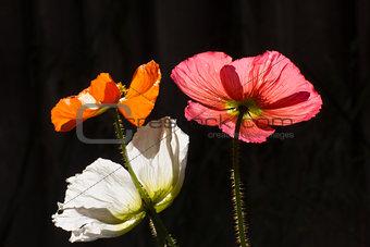 Three Poppies in Evening Light
