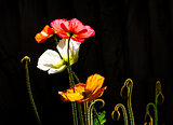 Brilliant Poppies in Vivid Color