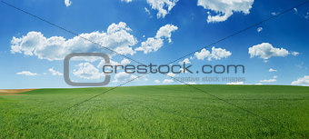 Green wheat field and blue sky panorama