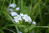 forget-me-nots on meadow close up