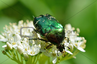 Chafer beetle (Cetonia aurata)