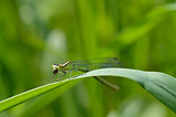 Dragonfly (Variable Damselfly)