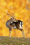 big fallow deer buck