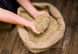 Hands in Coffee Seeds Beans in Burlap Sack