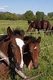 Young colt horses