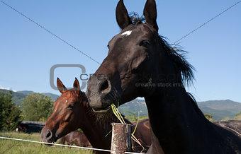 Dark horse head