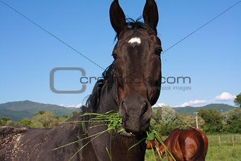 Horse eating grass close up