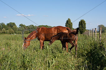 Young horse and adult