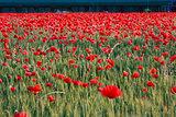 Red Poppys field