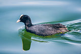 coot at starnberg lake