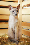 Peterbald on Hayloft