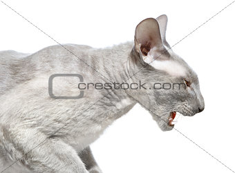 Angry Peterbald Cat