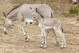 Somali wild ass baby and mother
