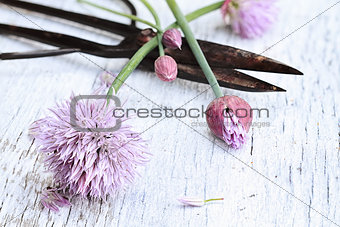 Fresh Chives And Antique Scissors