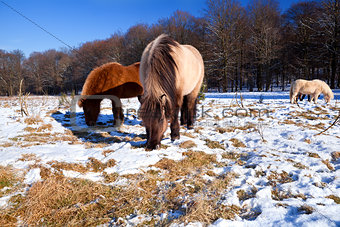 pony on winter pasture