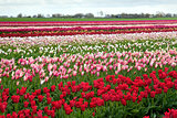 rows of colorful tulips in Netherlands