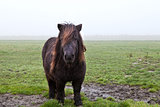 pony on pasture in fog