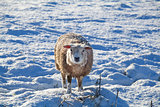 cute Dutch sheep on snow