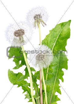 Blown dandelion with green leaves
