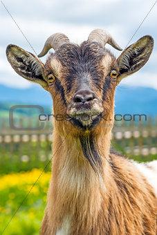 Bavarian goat