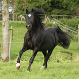 Black welsh cob running on pasturage