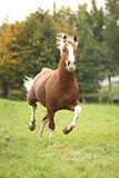 Chestnut welsh pony stallion with blond hair