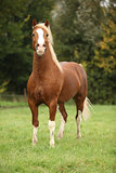 Chestnut welsh pony with blond hair